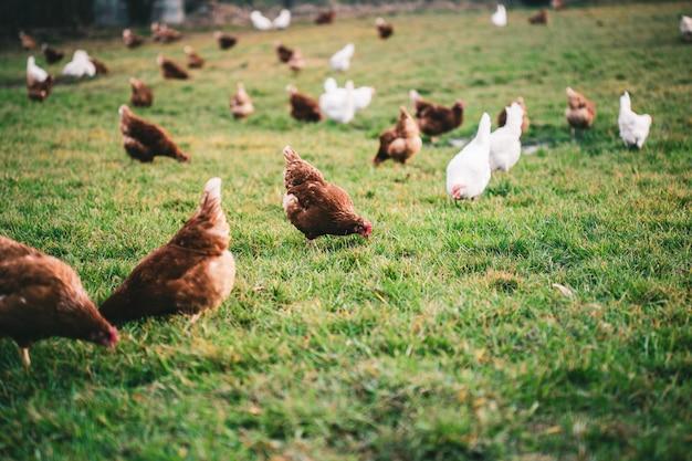 Schöner schuss von hühnern auf dem gras in der farm
