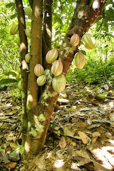 Schöner schuss von kakaoplantagen mit grünen blättern in einem dschungel