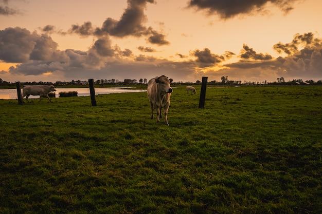 Schöner schuss von kühen auf einem ländlichen feld in zeeland, den niederlanden