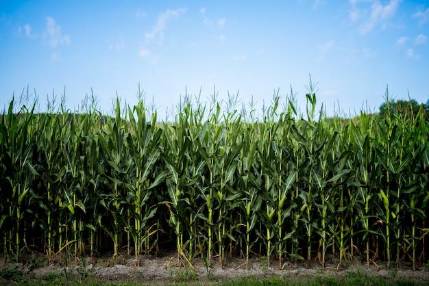 Schöner schuss von maisfeld mit einem blauen himmel