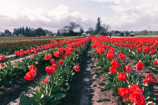 Schöner schuss von roten tulpen, die in einem großen landwirtschaftlichen feld blühen