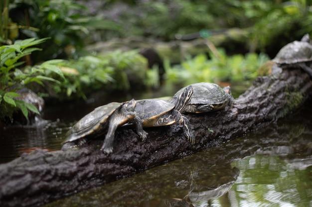 Schöner schuss von schildkröten auf einem ast über dem wasser