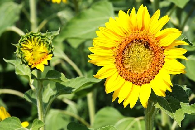 Schöner schuss von sonnenblumen im feld an einem sonnigen tag