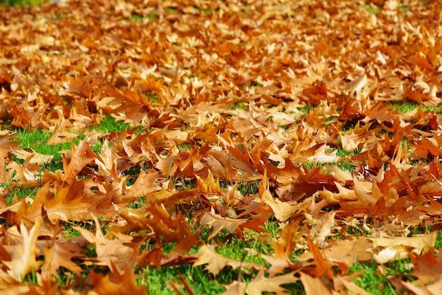 Schöner schuss von vielen gefallenen trockenen ahornblättern