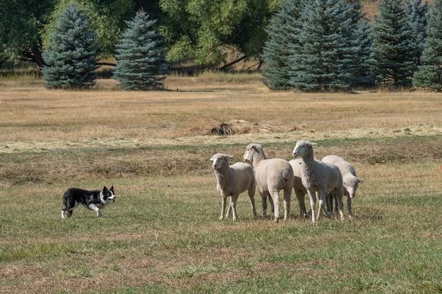 Schöner schuss von weißen schafen, die mit einem hund im grasfeld spielen