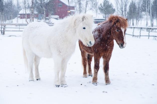 Schöner schuss von weißen und braunen ponys, die nahe bei einander in nordschweden stehen
