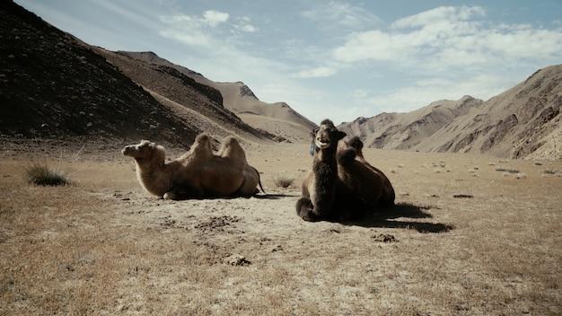 Schöner schuss von zwei kamelen, die auf dem boden in der wüste sitzen