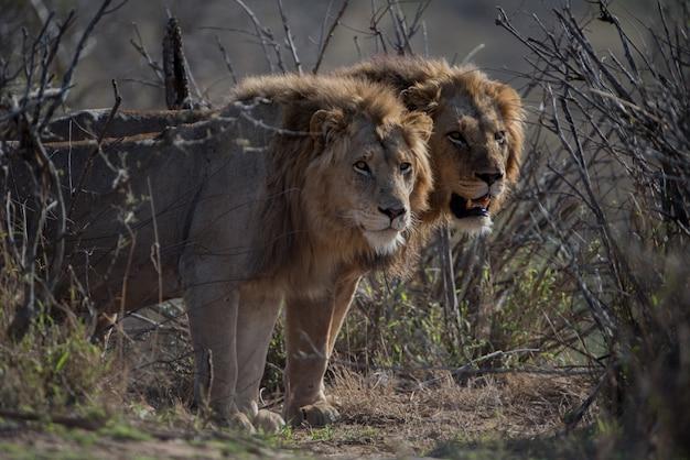 Schöner schuss von zwei männlichen löwen