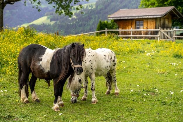 Schöner schuss von zwei ponys, die auf dem gras mit einem haus und bergen dahinter stehen