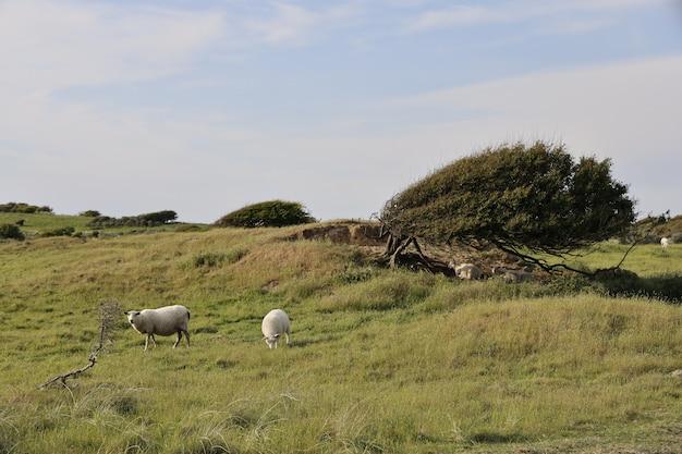 Schöner schuss von zwei schafen, die tagsüber in rubjerg, lonstrup grasen