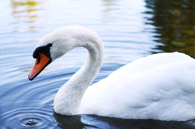 Schöner schwan auf dem fluss