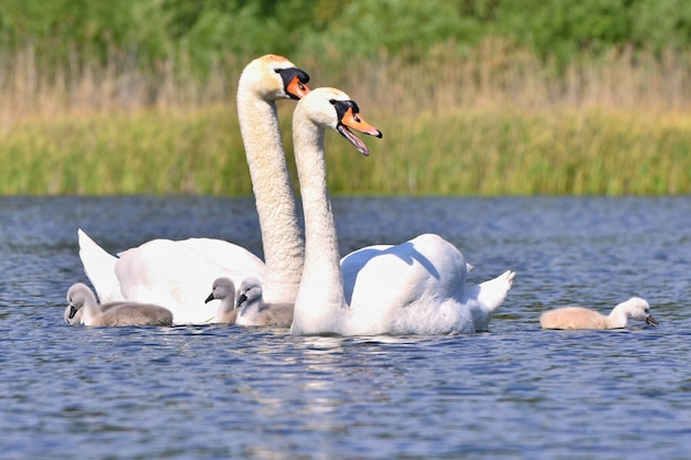Schöner schwan mit jungen. familie am teich.