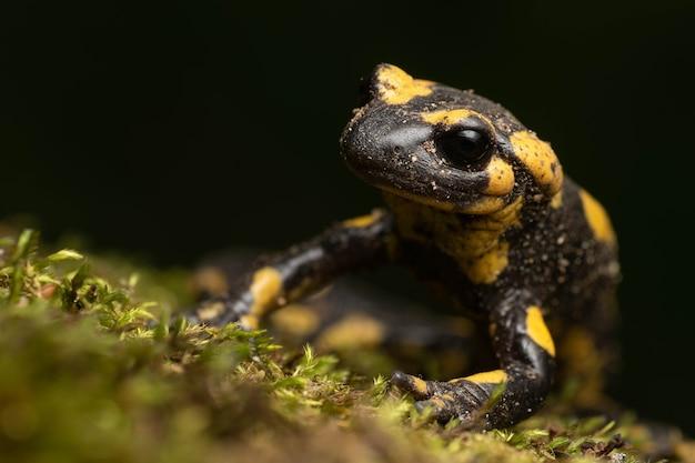 Schöner schwarz-gelber feuersalamander auf dem moos nachts i