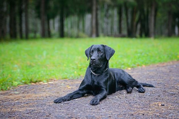 Schöner schwarzer apportierhund auf einem gehweg im park. grüner park. weicher fokus