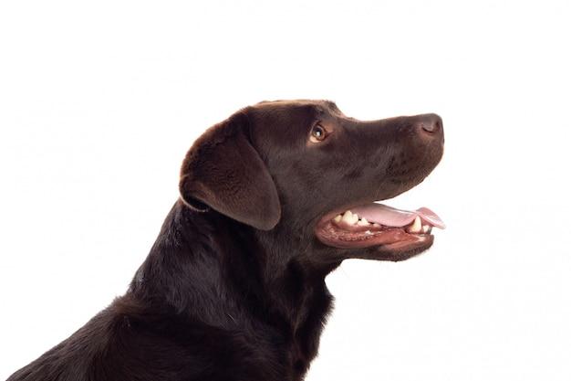 Schöner schwarzer golden retriever-hund