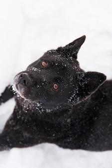 Schöner schwarzer hund, der mit schnee auf schneebedecktem feld im winterwald spielt