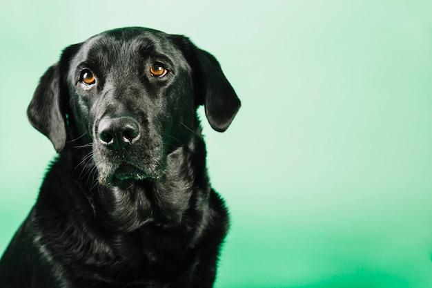 Schöner schwarzer hund