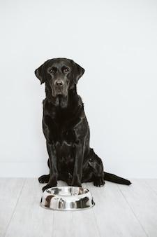 Schöner schwarzer labrador, der darauf wartet, sein essen zu essen. zuhause, drinnen