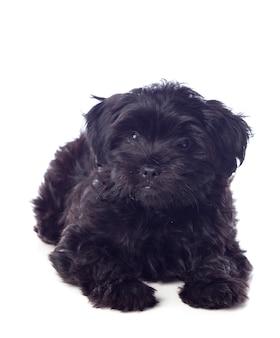 Schöner schwarzer pekingese-hund
