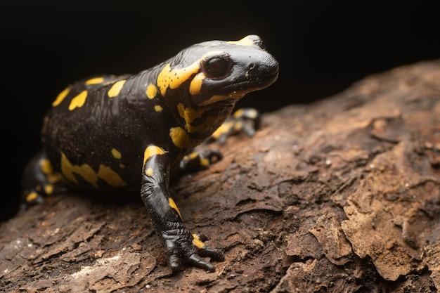 Schöner schwarzer salamander mit gelben flecken in der nacht