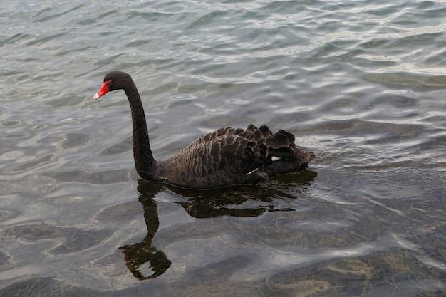 Schöner schwarzer schwan mit rotem schnabel, der im seichten wasser schwimmt