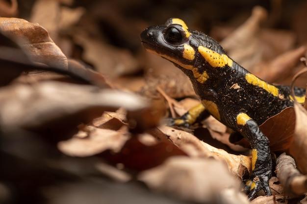 Schöner schwarzer und gelber gewöhnlicher salamander unter dem laub eines waldes