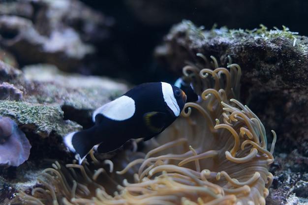 Schöner schwarzer und weißer ocellaris clownfisch unter anemonententakeln von bali