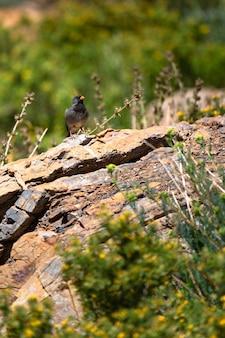 Schöner schwarzer vogel, der auf den felsen steht