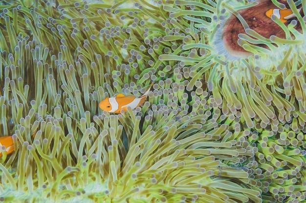 Schöner seelandschaft einer anemone mit nemo