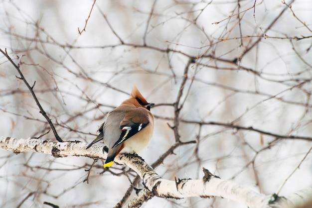 Schöner seidenschwanz sitzt auf brunch des baums. bunter wandernder singvogel singen