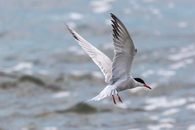 Schöner selektiver fokusschuss eines fliegenden küstenseeschwalbenvogels