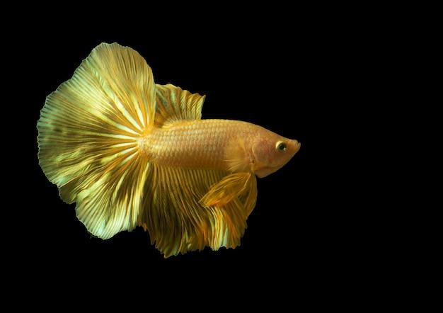 Schöner seltener goldener bettafisch oder kämpfender fisch auf schwarzem hintergrund