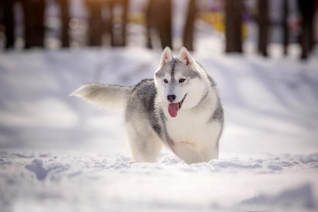 Schöner sibirischer husky auf einem weg, gegen eine schneebedeckte landschaft.