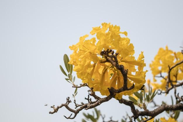 Schöner silberner trompetenbaum