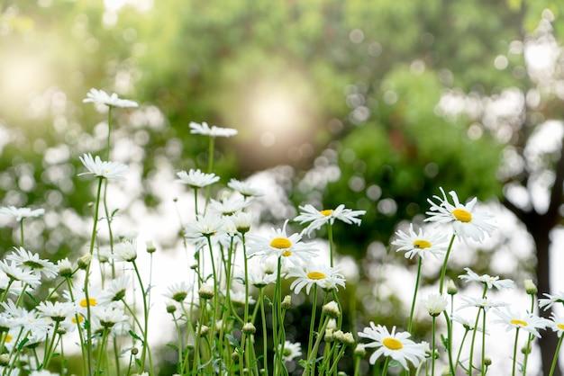 Schöner sommer mit blühender gänseblümchenblume auf dem unscharfen hintergrund
