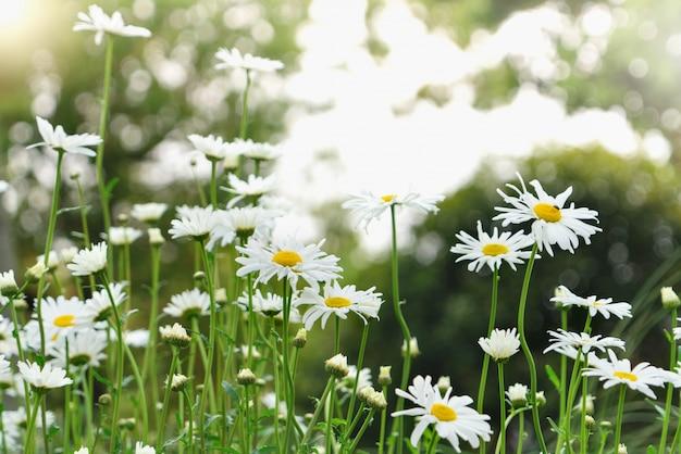 Schöner sommer mit blühender gänseblümchenblume