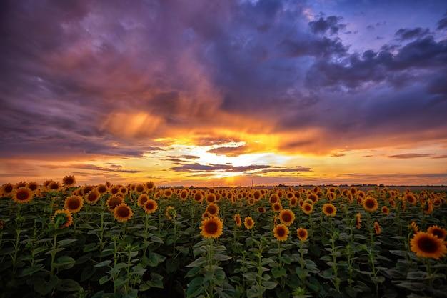 Schöner sommersonnenuntergang über einem sonnenblumenfeld. horizontale fotografie