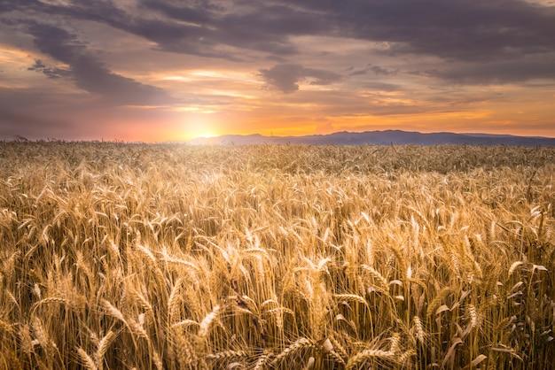 Schöner sonnenuntergang über einem weizenfeld