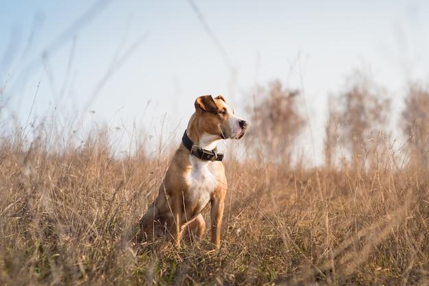 Schöner staffordshire terrier hund im gras bei sonnenuntergang