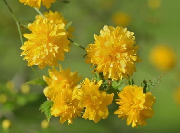 Schöner strauch, der mit gelber blumenform des pompons blüht