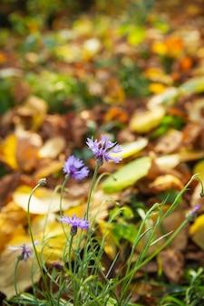 Schöner strauß kornblumen auf einem hintergrund von bäumen mit gelben blättern. schöner und warmer herbst.