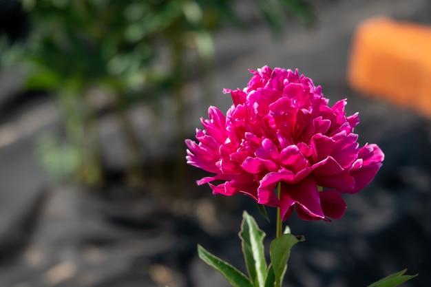 Schöner strauß rosa pfingstrose im garten