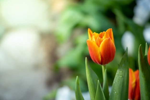 Schöner strauß tulpen