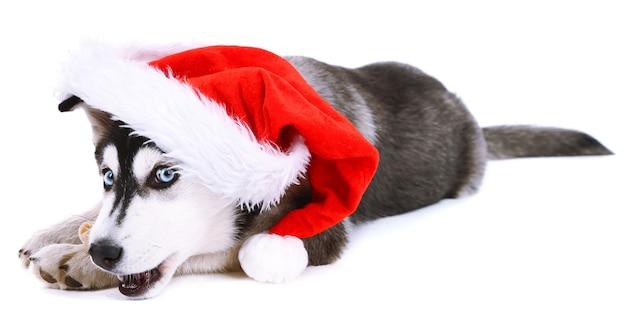 Schöner süßer heiserer welpe mit weihnachtsmütze, isoliert auf weiß
