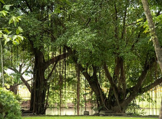 Schöner sumpfbaum mit niederlassungen und grünblättern