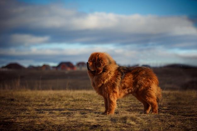 Schöner tibetanischer mastiff