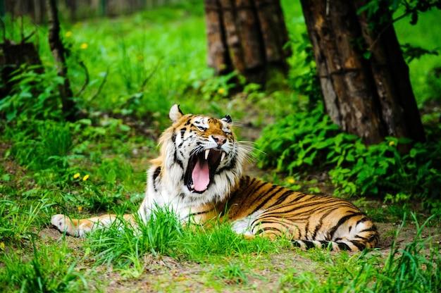Schöner tiger auf dem grünen gras