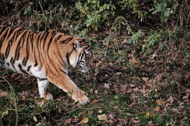 Schöner tiger, der auf dem boden mit abgefallenen blättern geht