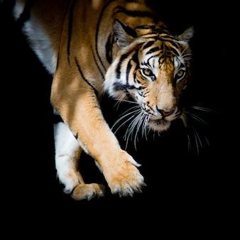 Schöner tiger, der schritt für schritt lokalisiert auf schwarzem hintergrund geht