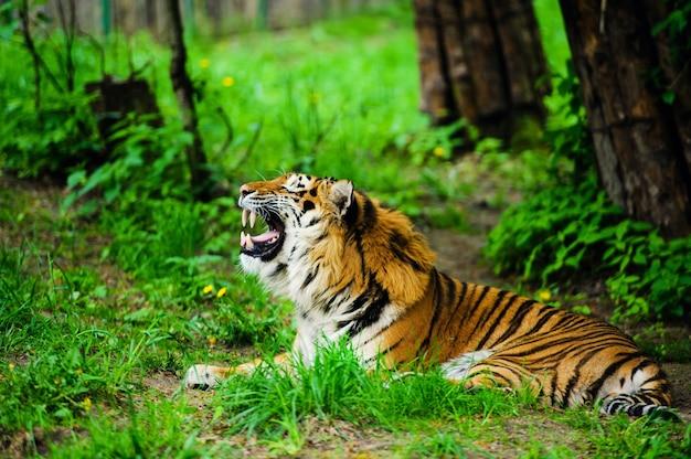 Schöner tiger, frühlingszeit